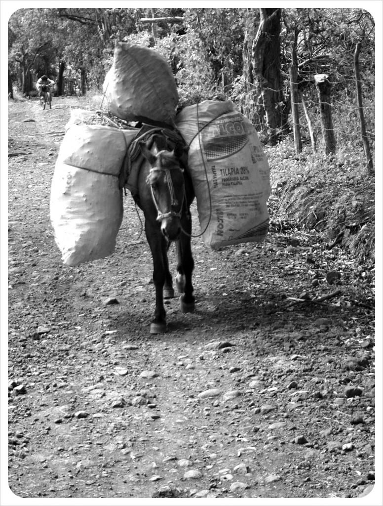 Carrier Horse Ometepe Nicaragua