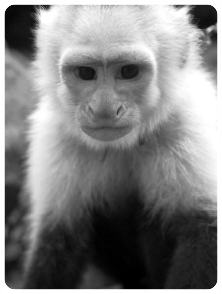 Pet Monkey Ometepe Nicaragua