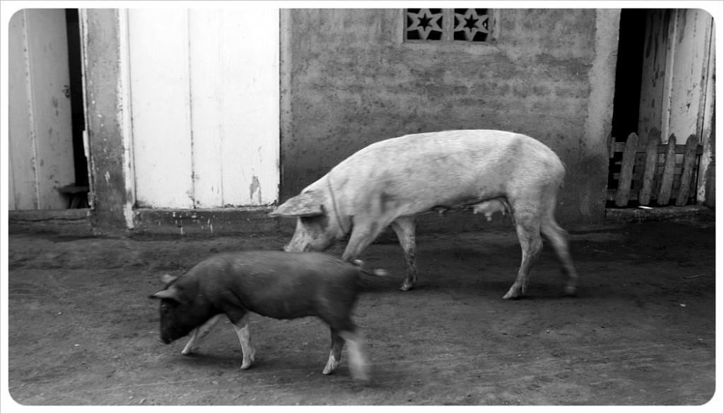 Pigs on Ometepe Nicaragua