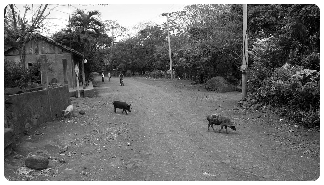 Village Road with Pigs Ometepe Nicaragua