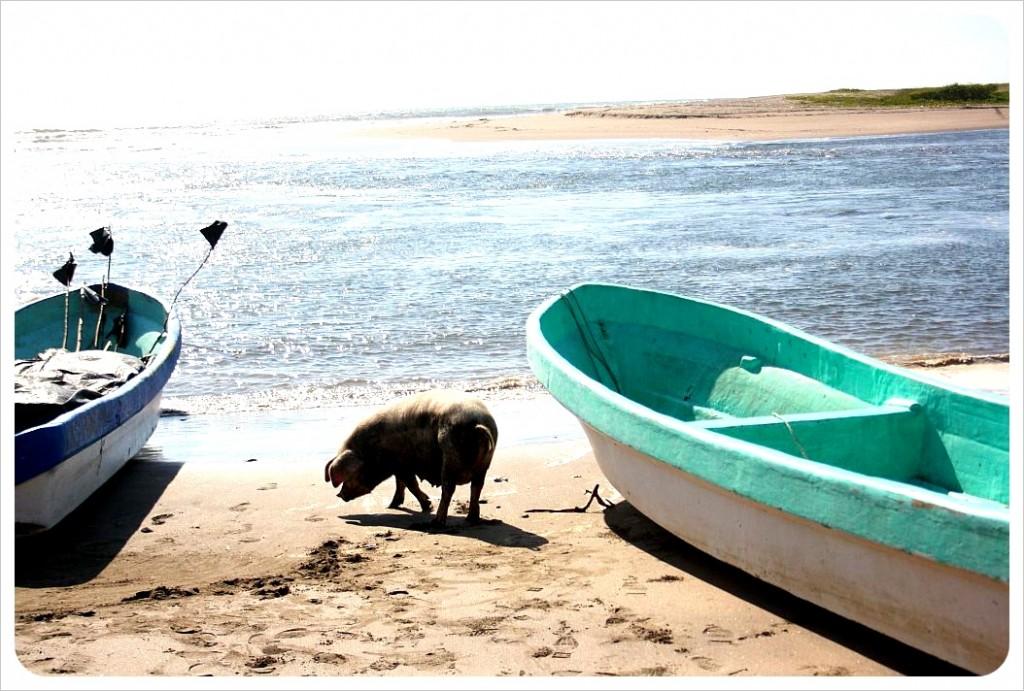 Poneloya Pig on beach