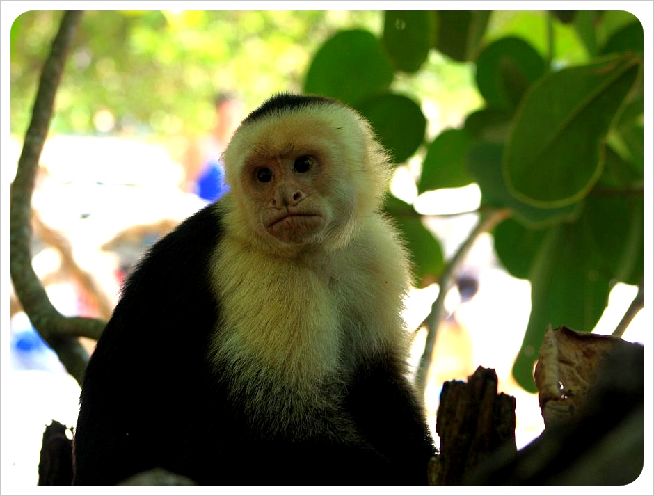 Monkey Manuel Antonio Costa Rica