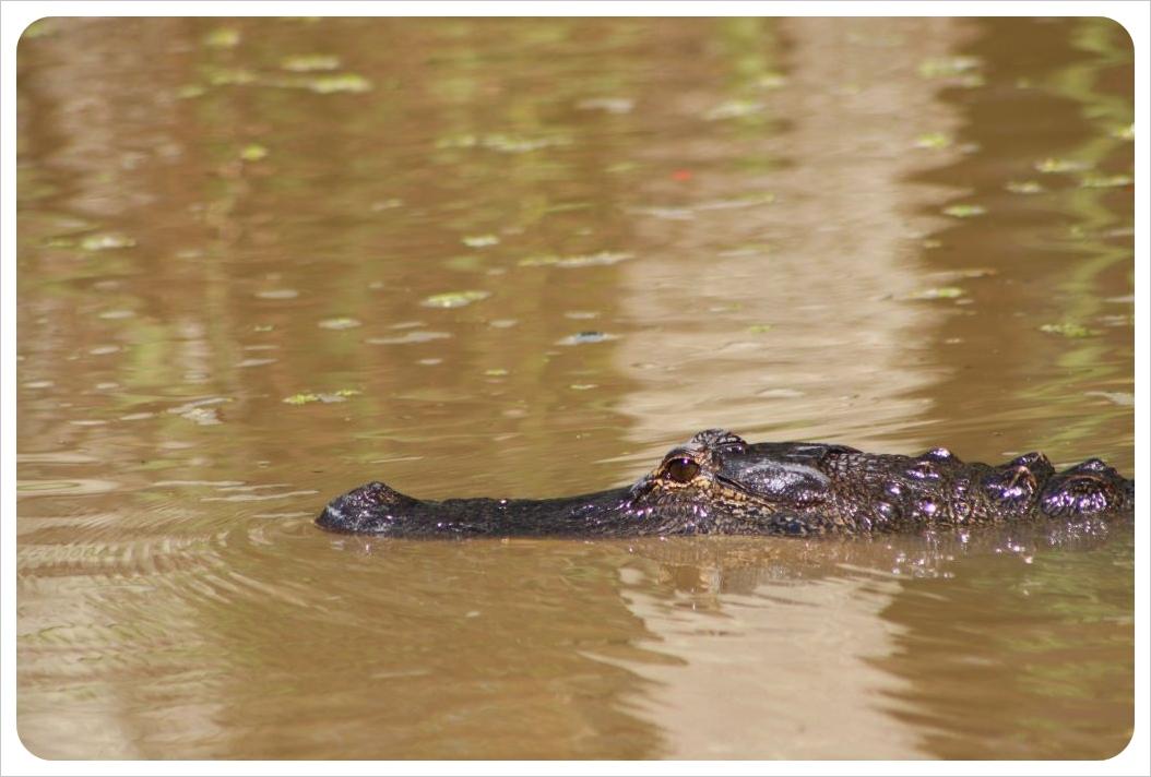 alligator swamp louisiana