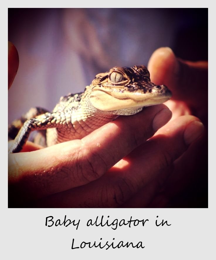 polaroid of the week usa Louisiana new orleans baby alligator
