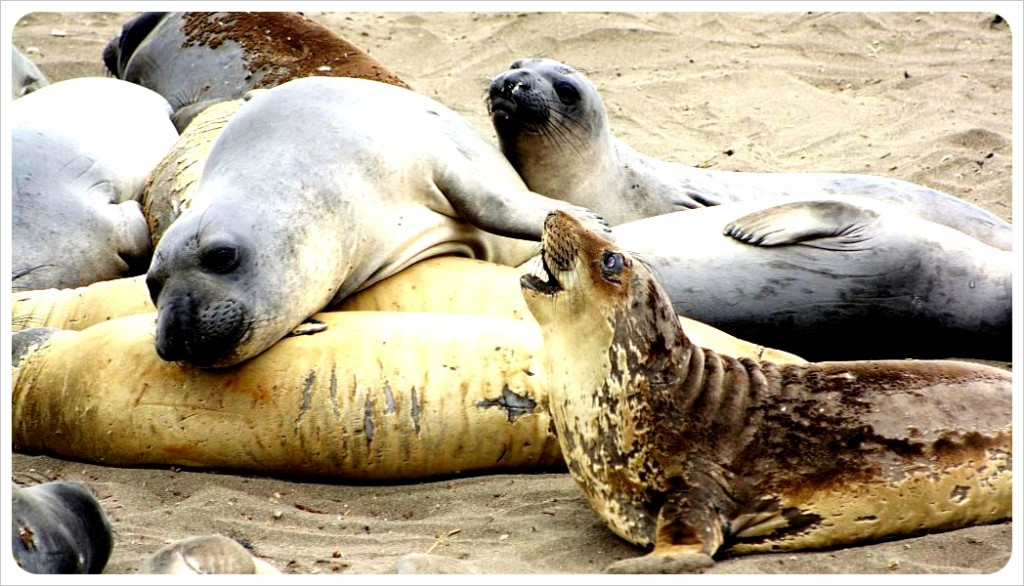 elephant seals piedras blancas california