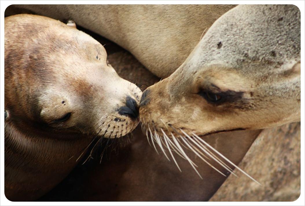 sea elephant kiss – LOVE