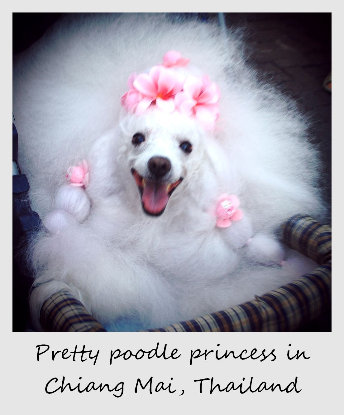 polaroid of the week thailand chiang mai poodle