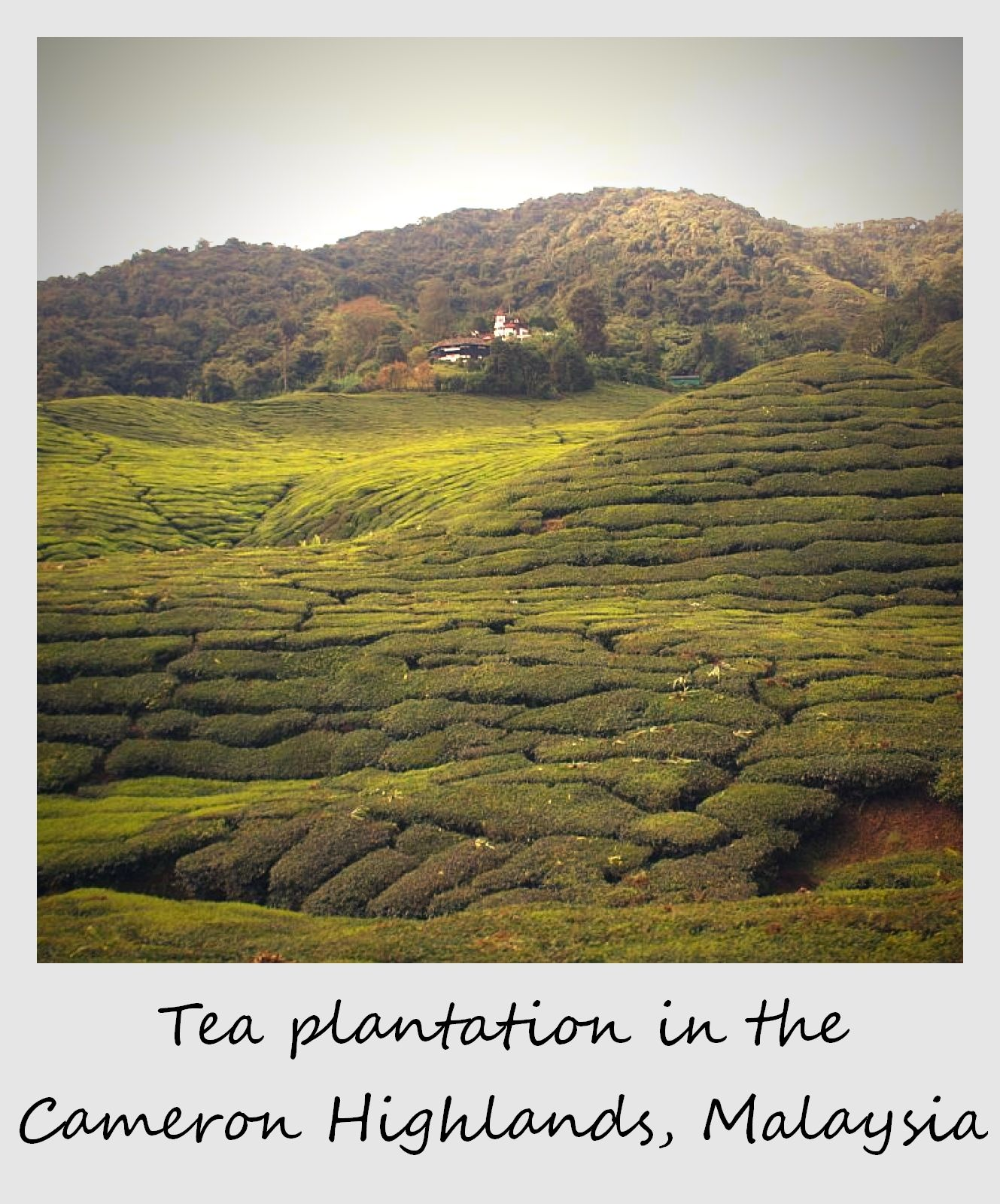 polaroid of the week malaysia cameron highlands tea plantation