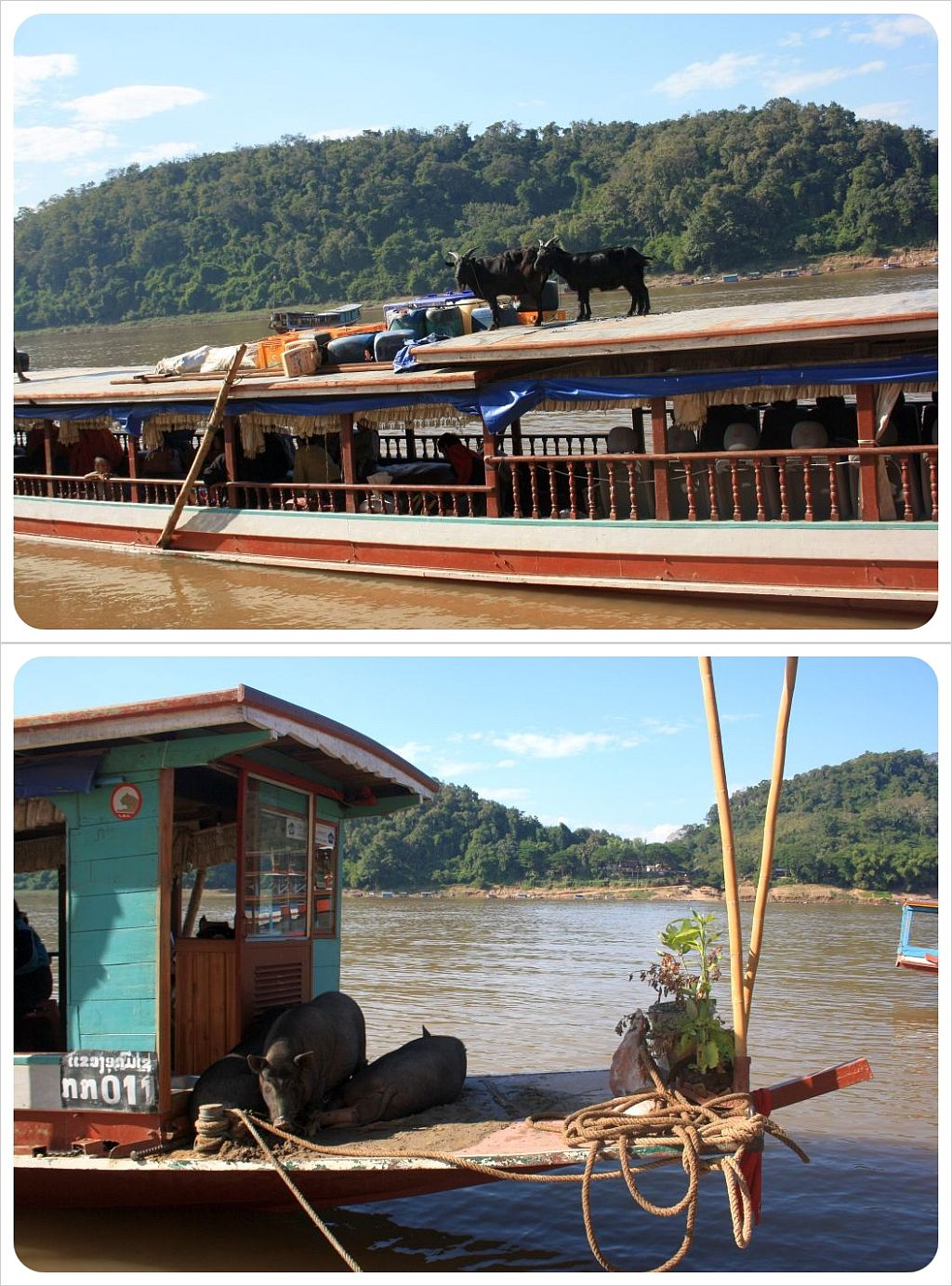 goats and pigs on long tail boat in laos
