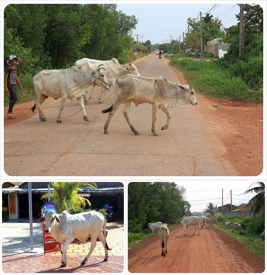 cambodia cows in the streets