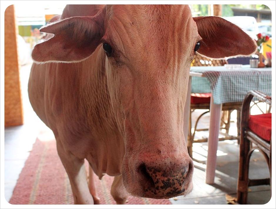 cow in restaurant in palolem