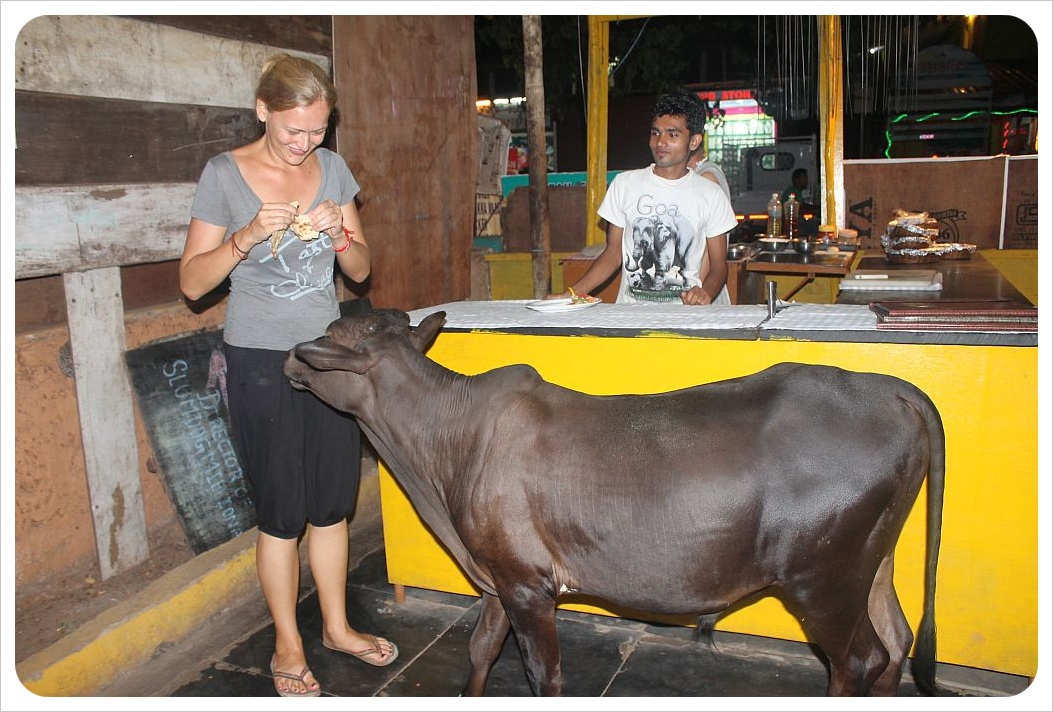 dani feeding a cow in a restaurant in palolem goa
