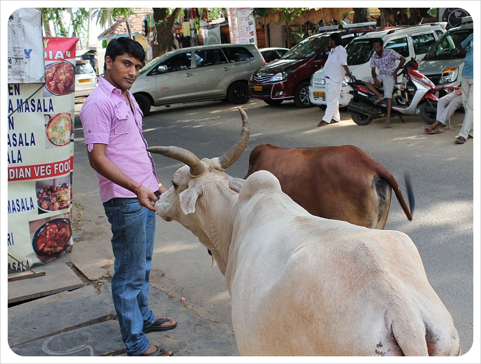 cows being fed in palolem