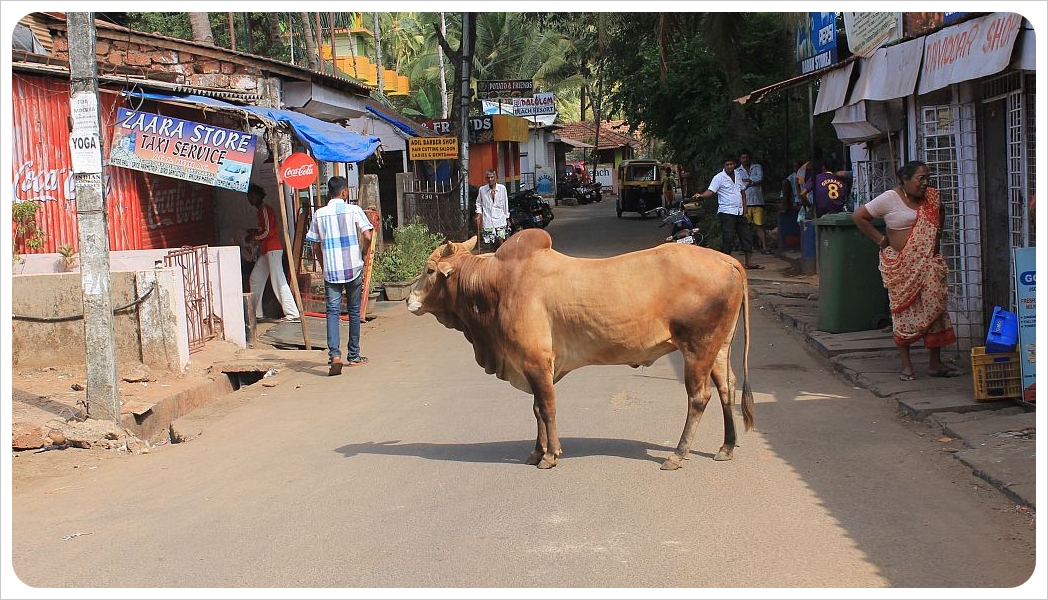 palolem cow in the street