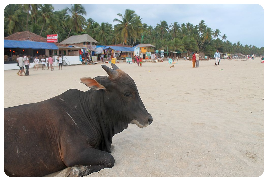 cow at the beach in palolem