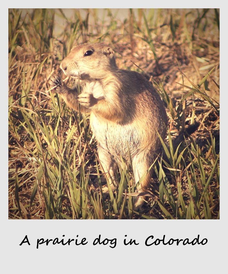 polaroid of the week usa colorado prairie dog
