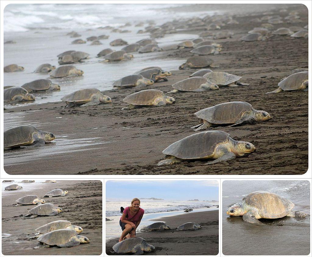 turtle arribada in costa rica