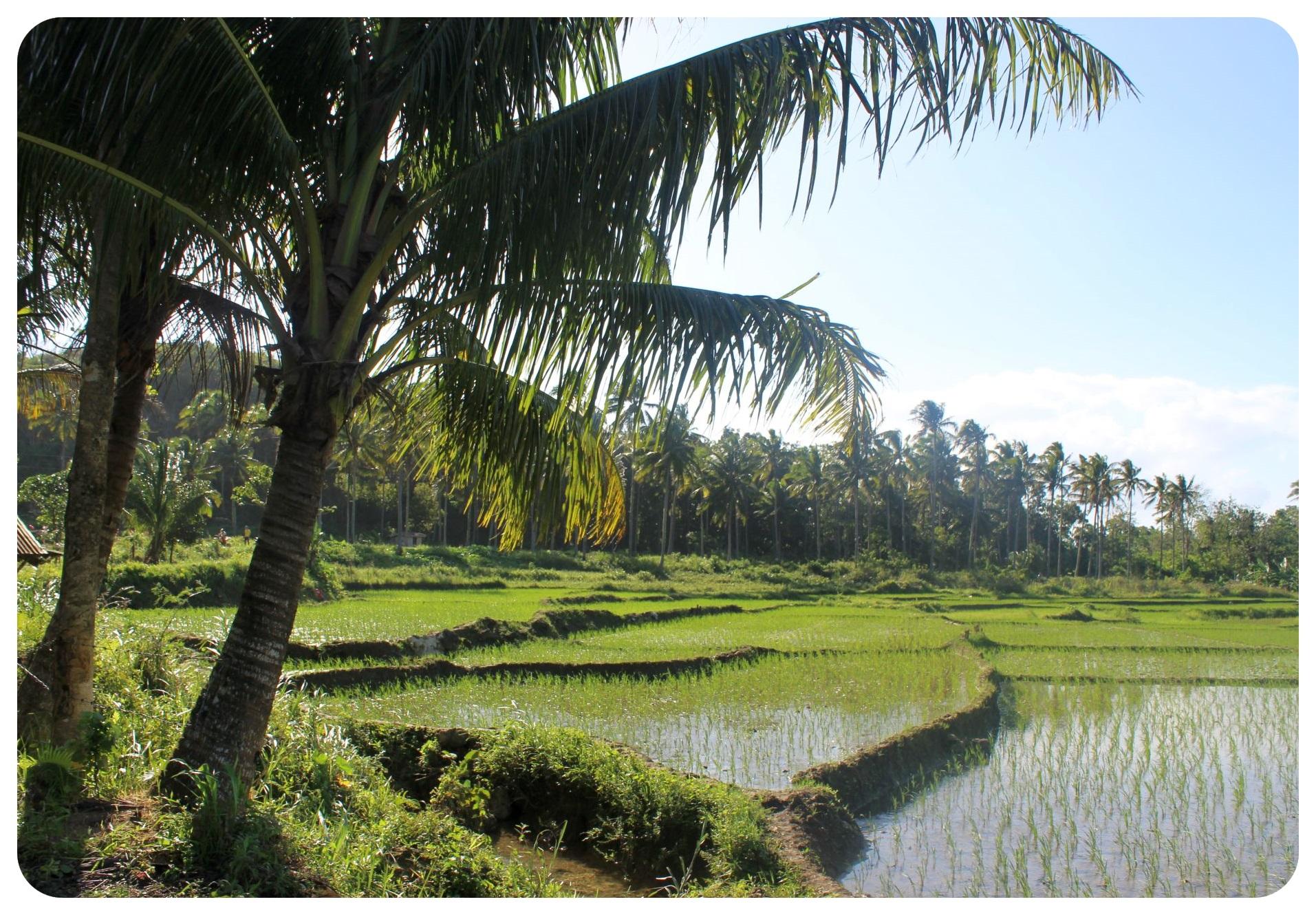 bohol rice fields philippines1