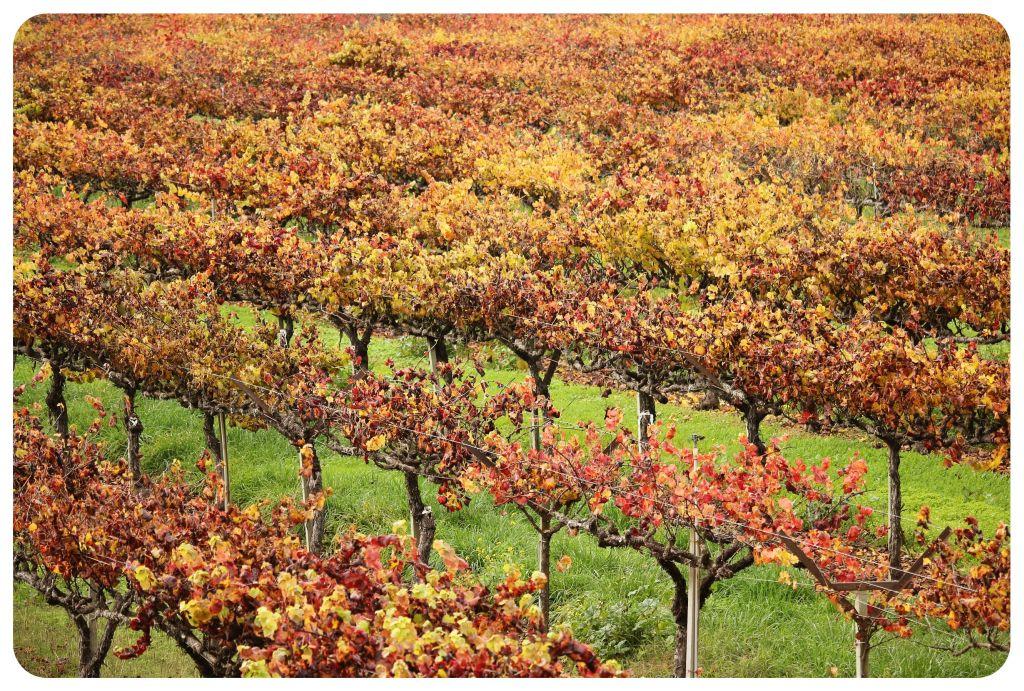 korbel vinyard