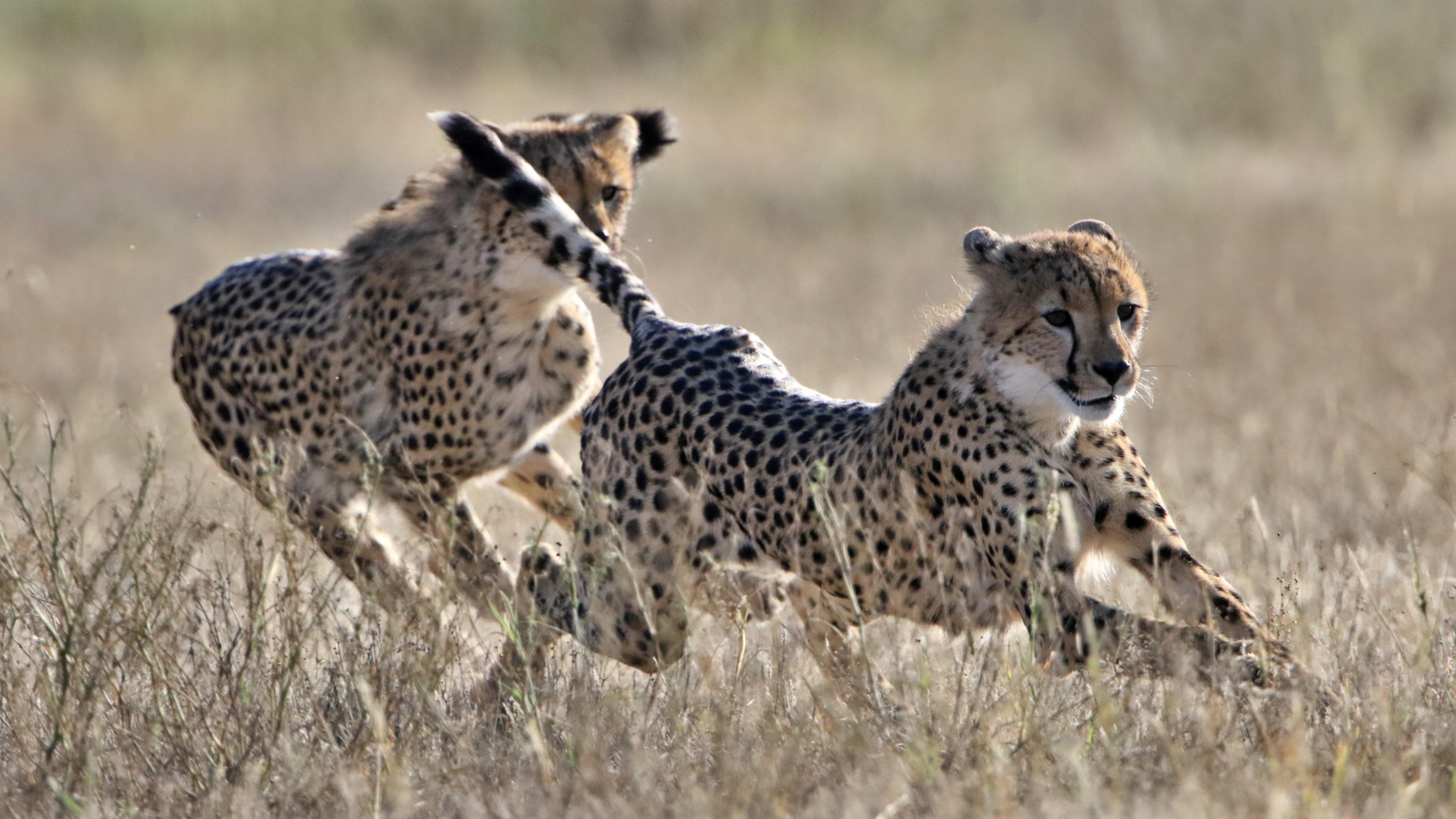 Cheetah, Acinonyx jubatus, at Kgalagadi Transfrontier Park, Nort