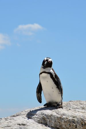 south Africa penguin